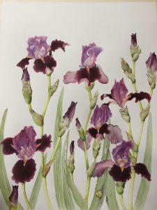 Iris 'Romantic Evening'